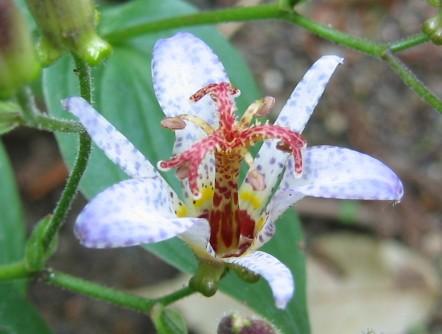 青い斑点のホトトギスの花